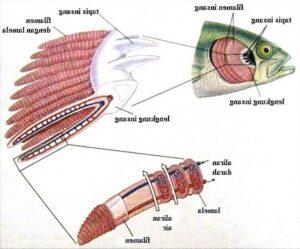 Proses Kerja Insang Pada Ikan